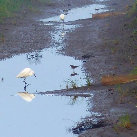 Little Egrets, Green Sandpiper and Snipe.    photo:  J. Yeoman