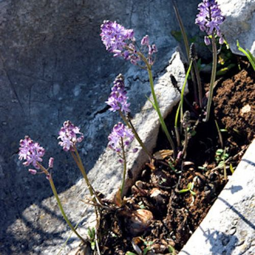 Autumn Squill