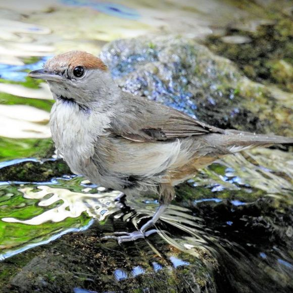 Female Blackcap getting ready for the plunge. Photo: F.J. Odinius.
