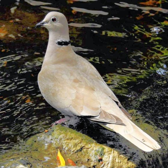 Collared Dove ready for the bath. Photo: F.J. Odinius.
