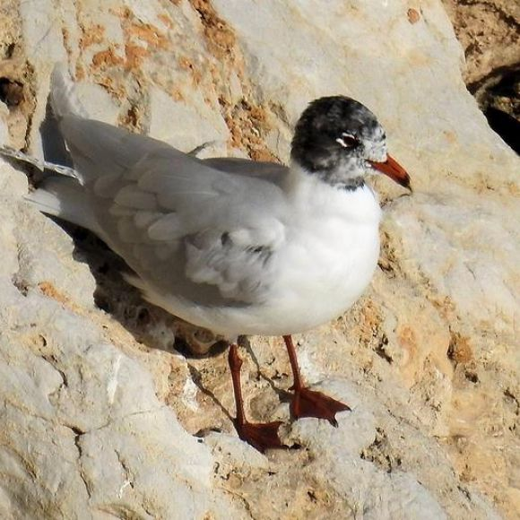Adult Mediterranean Gull with black head plumage beginning to appear.