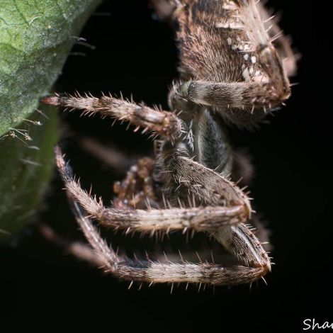 Araneus diadematus female