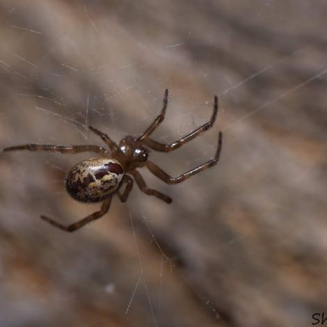 Steatoda nobilis (False widow spider)