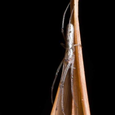 Tetragnatha sp. (Stretch spider)