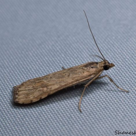 Nomophila noctuella (the Rush veneer)