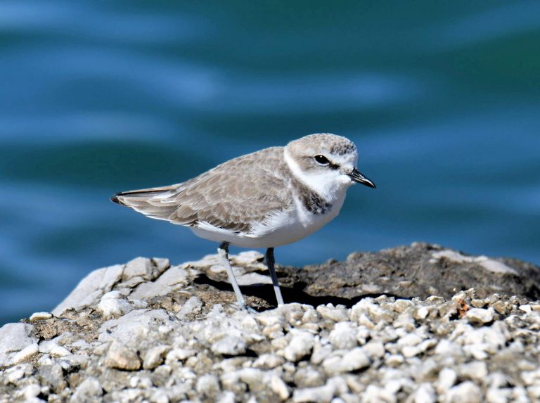 Kentish Plover recorded again after decades
