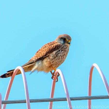 Common Kestrel.    Photo:  T. Finlayson.