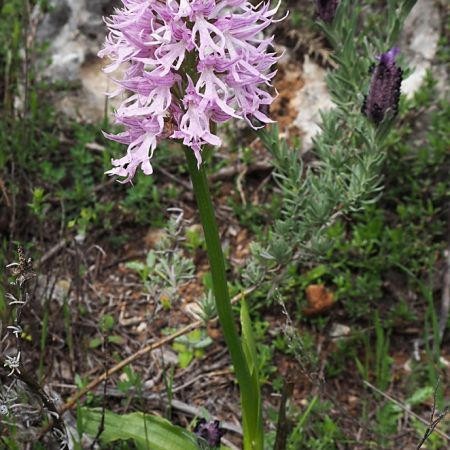 Naked Man Orchid Orchis Italica