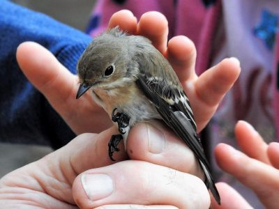 Pied Flycatcher in the hand (photo Franz Josef Odinius)
