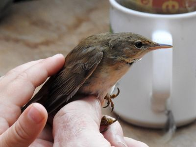 Reed Warbler in the hand (Photo Franz Josef Odinius)