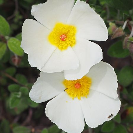 Sage Leaved Cistus Cistus Salvifolius