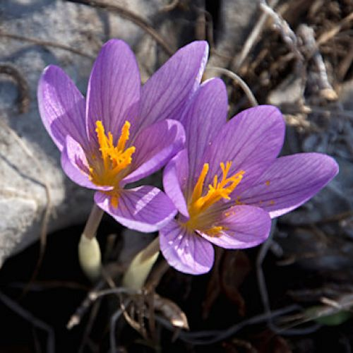 Southern Autumn Crocus