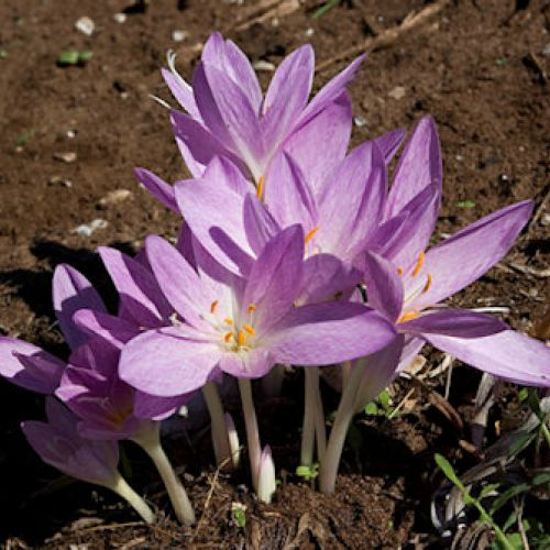 Southern Or Autumn Colchicum
