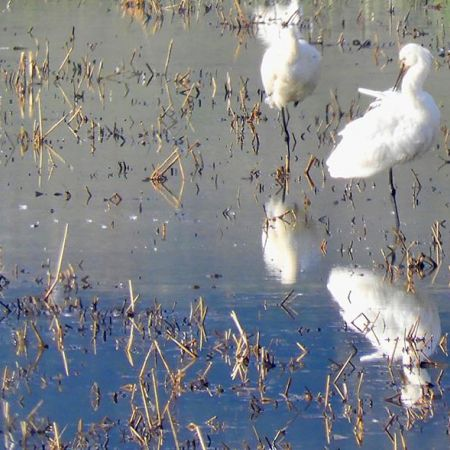 Spoonbills.    Photo:  A. Yome.