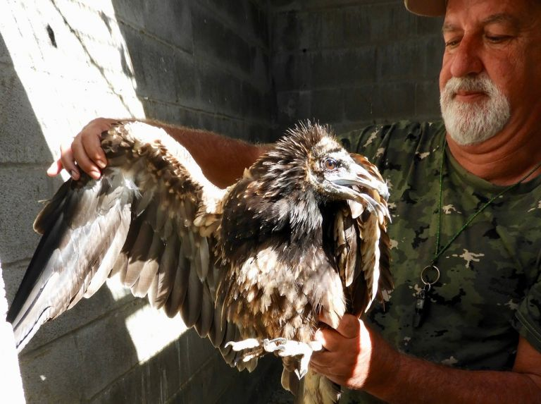 Egyptian Vulture Rescued
